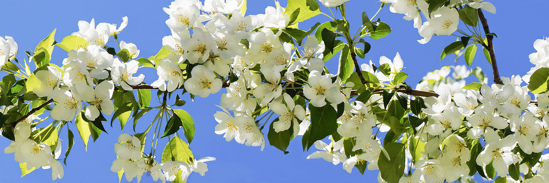 branch of white apple blossoms on blue sky