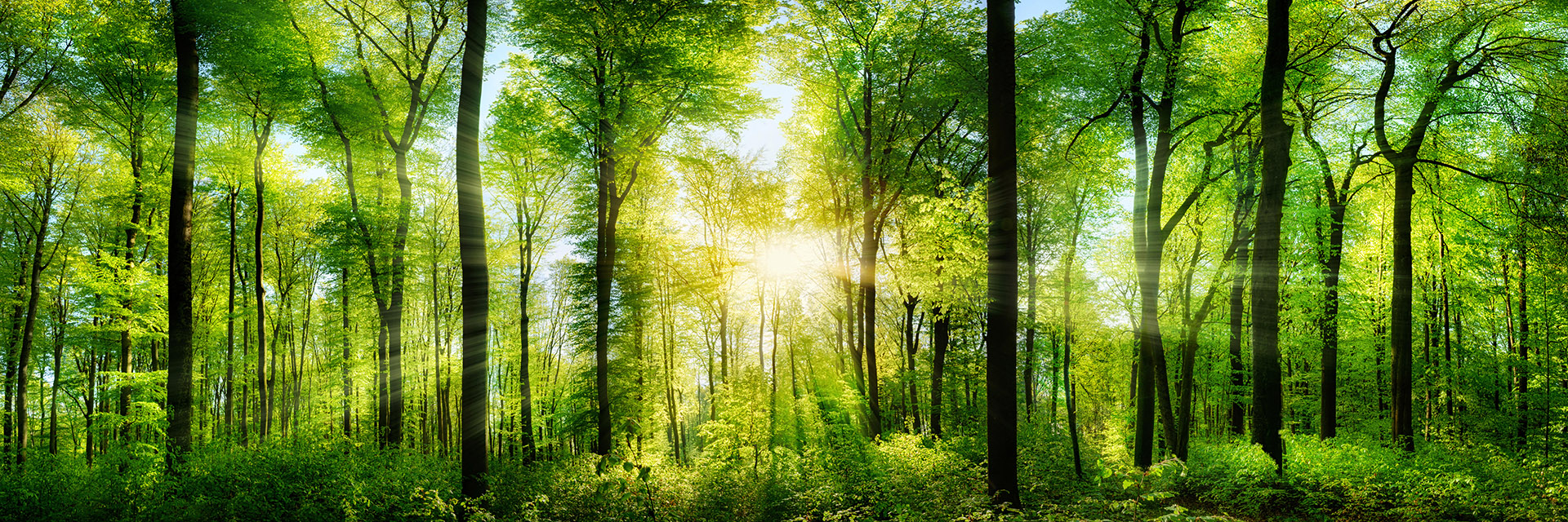 panoramic spring sunset green forest